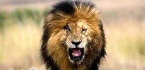 وفاة الأسد سكار ..أشهر ملك غابة في التاريخ  the legendary Scar
