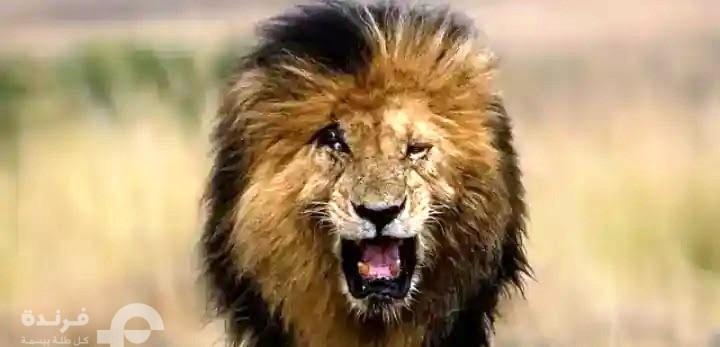 وفاة الأسد سكار ..أشهر ملك غابة في التاريخ| the legendary Scar